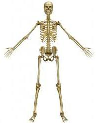 кости человека картинки